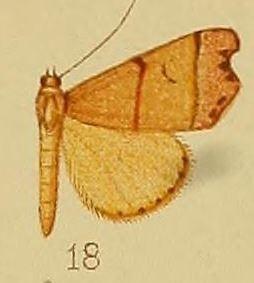 <i>Paralephana</i> genus of insects