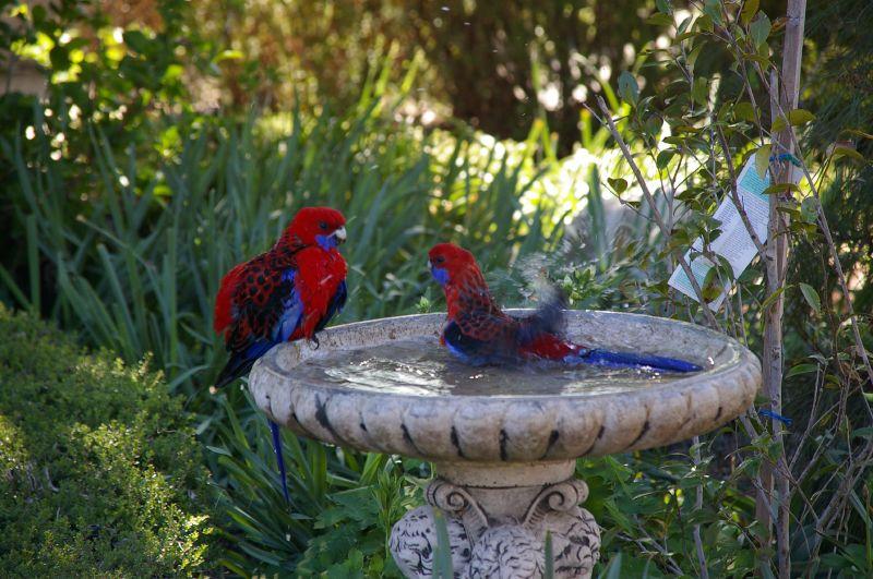 FilePlatycercus elegans Canberra Australia garden bird bath 8a