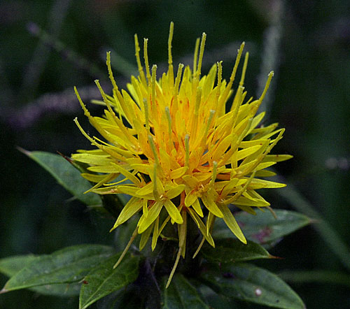 Wikipedia       safflower image
