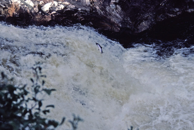 Salmon Leaping at the Falls of Shin, Sutherland - geograph.org.uk - 728824