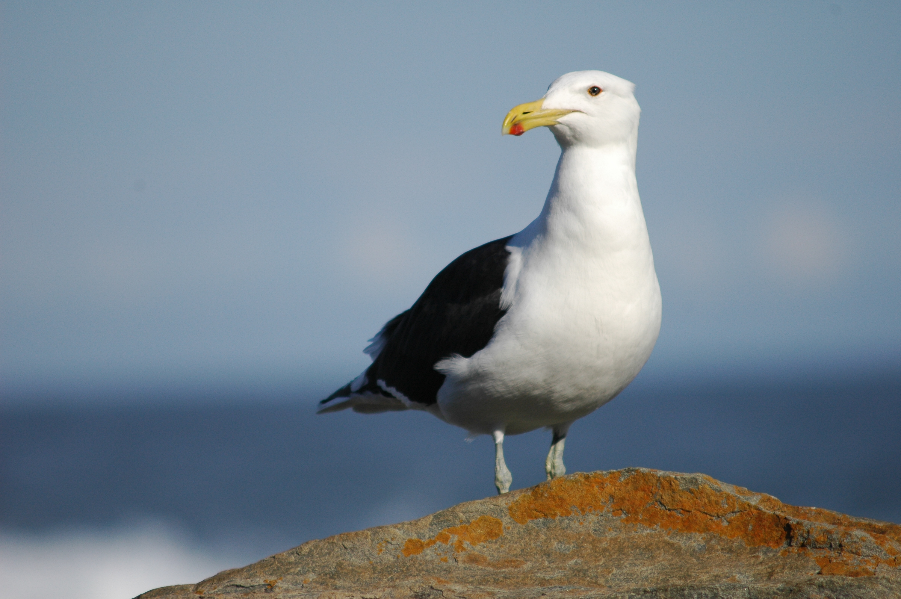 File Seagull Larus Dominicanus Vetula Kelp Gull Jpg
