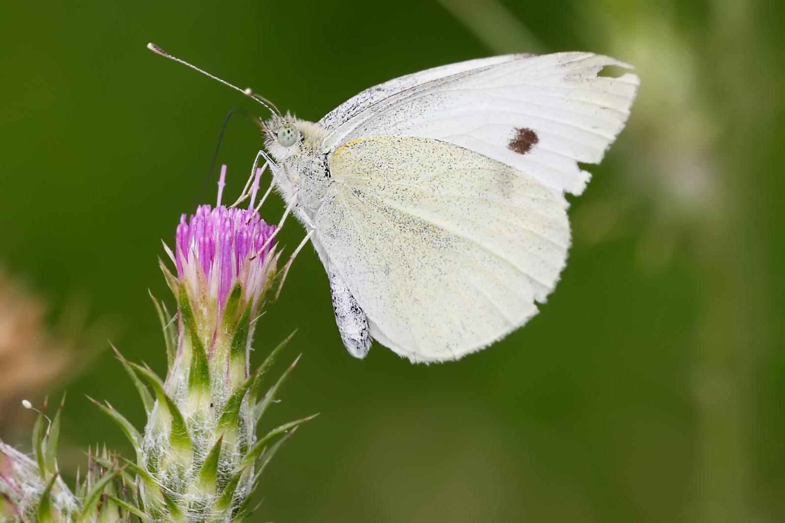 File Small White Feeding On Thistle Wikimedia