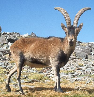 File:Spanish ibex.jpg