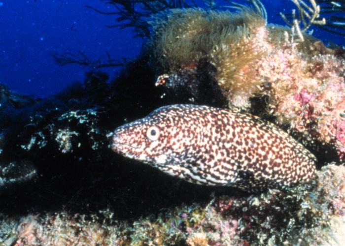 Spotted moray.jpg © Photo by D. Kesling. Image credit: OAR/National Undersea Research Program (NURP); University of North Carolina at Wilmington.