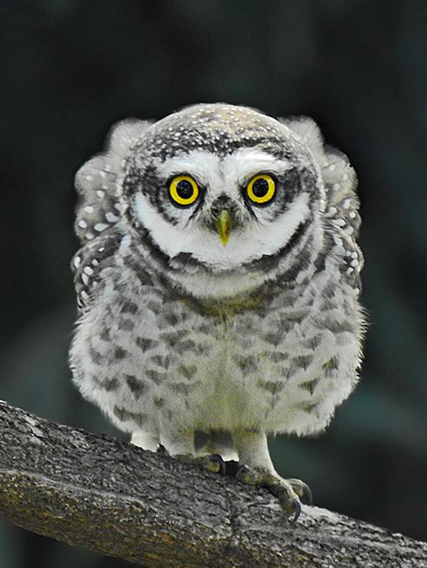 https://upload.wikimedia.org/wikipedia/commons/7/7f/Spotted_owlet_%28Athene_brama%29_Photograph_by_Shantanu_Kuveskar.jpg