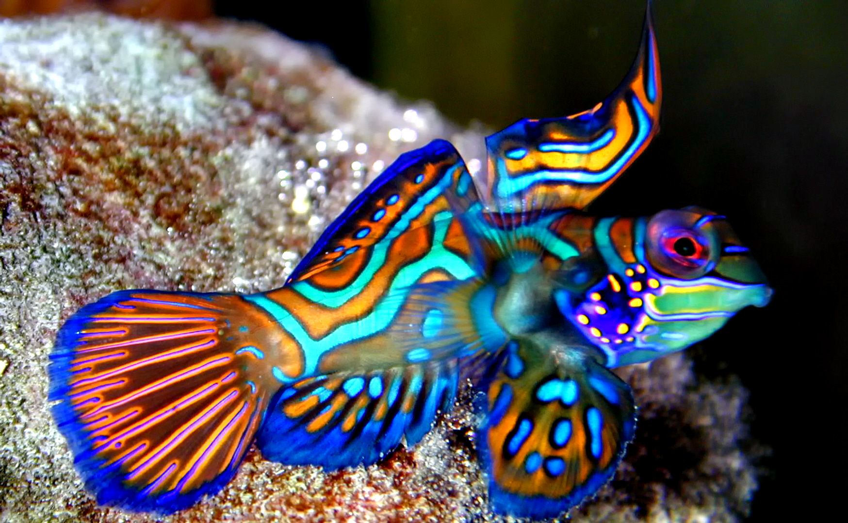 image gallery synchiropus splendidus
