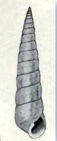 <i>Tibersyrnola</i> genus of molluscs