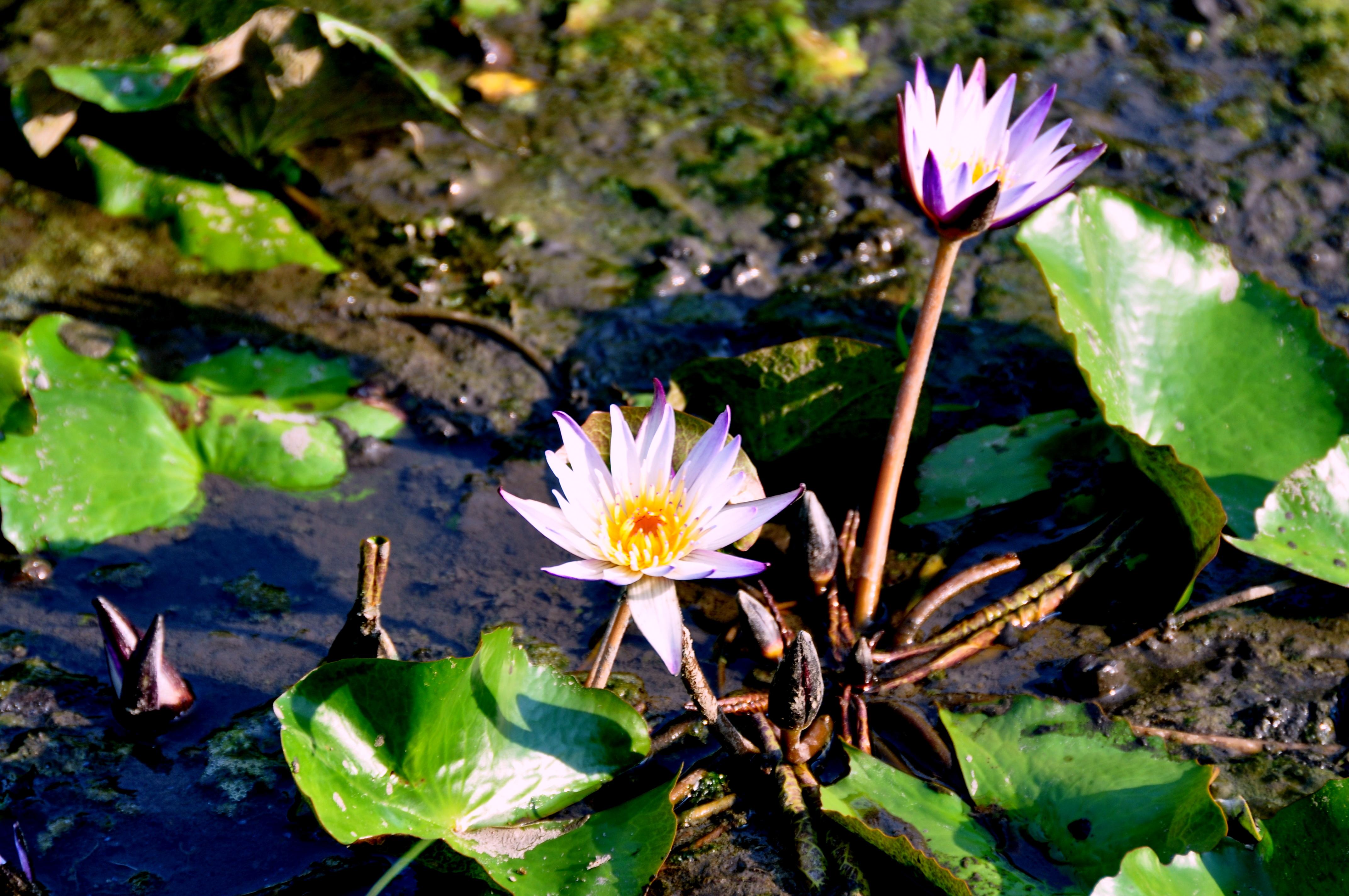 Filethe Lotus Flowersg Wikimedia Commons