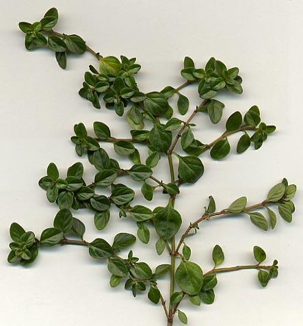 الزعتر Thymus_vulgaris.jpg