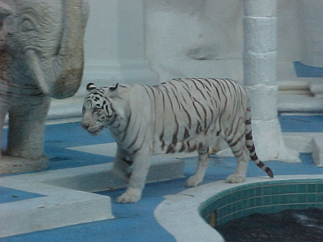 Fichier:Tigre blanco.jpg