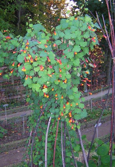Tropaeolum tuberosum — Вікіпедія домен это что