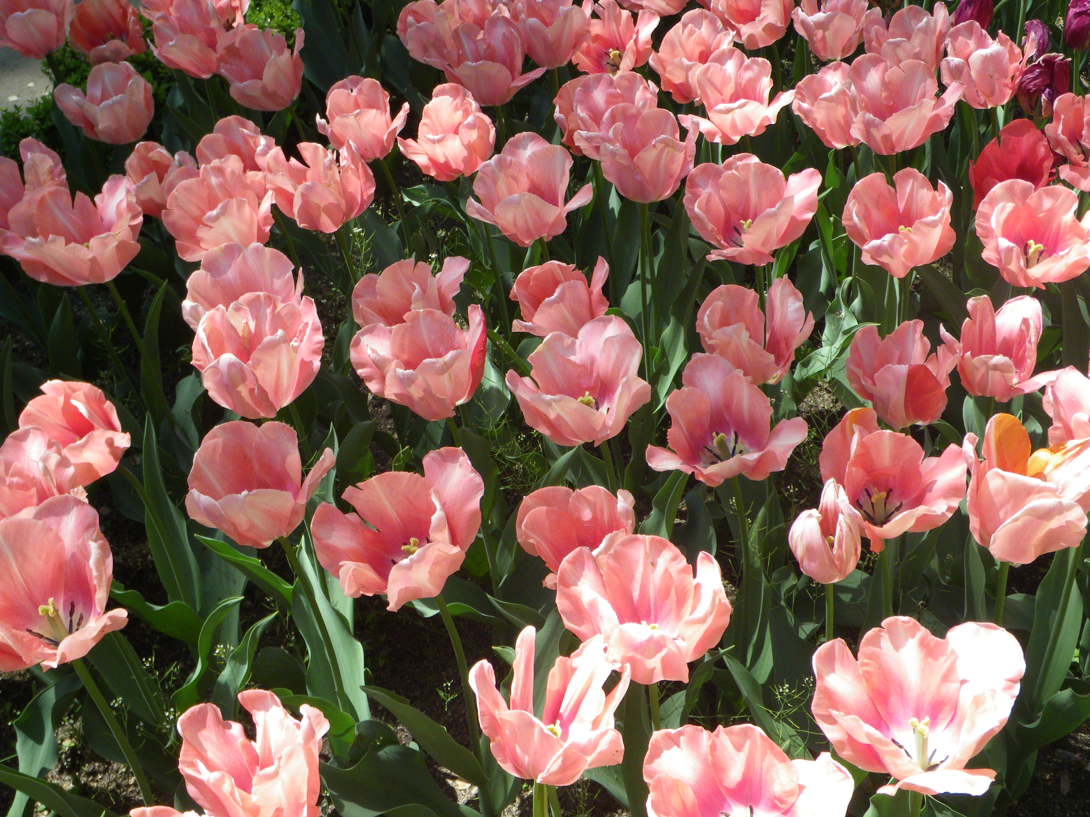 Tulips (Apricot Perfection cultivar), Real Jard%C3%ADn Bot%C3%A1nico, Madrid Beyond Perfection