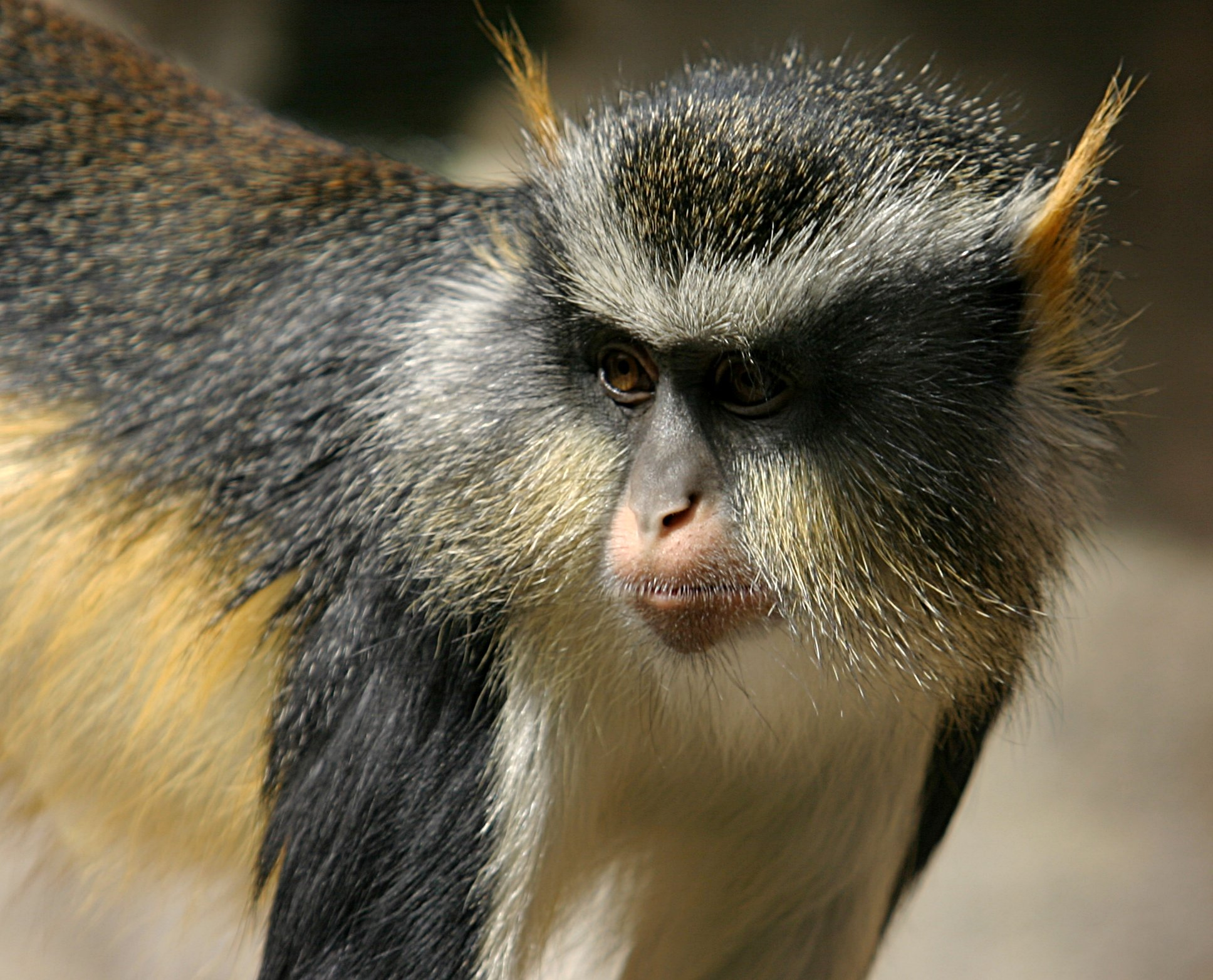 free downloading pictures of monkey wolf