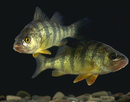 IMAGE(http://upload.wikimedia.org/wikipedia/commons/7/7f/YellowPerch.jpg)