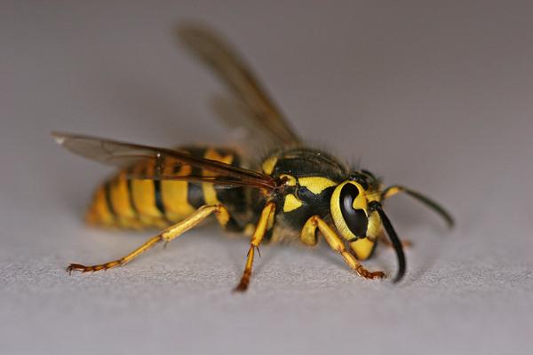 File:Yellow jacket wasp.jpg