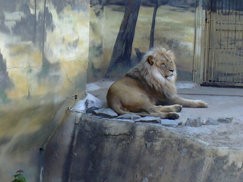 File:Zoo UL, Katanga lion male.jpg