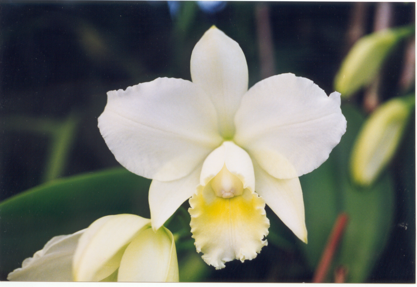 Filea And B Larsen Orchids Cattleya Hawaiian Wedding Song Virgin