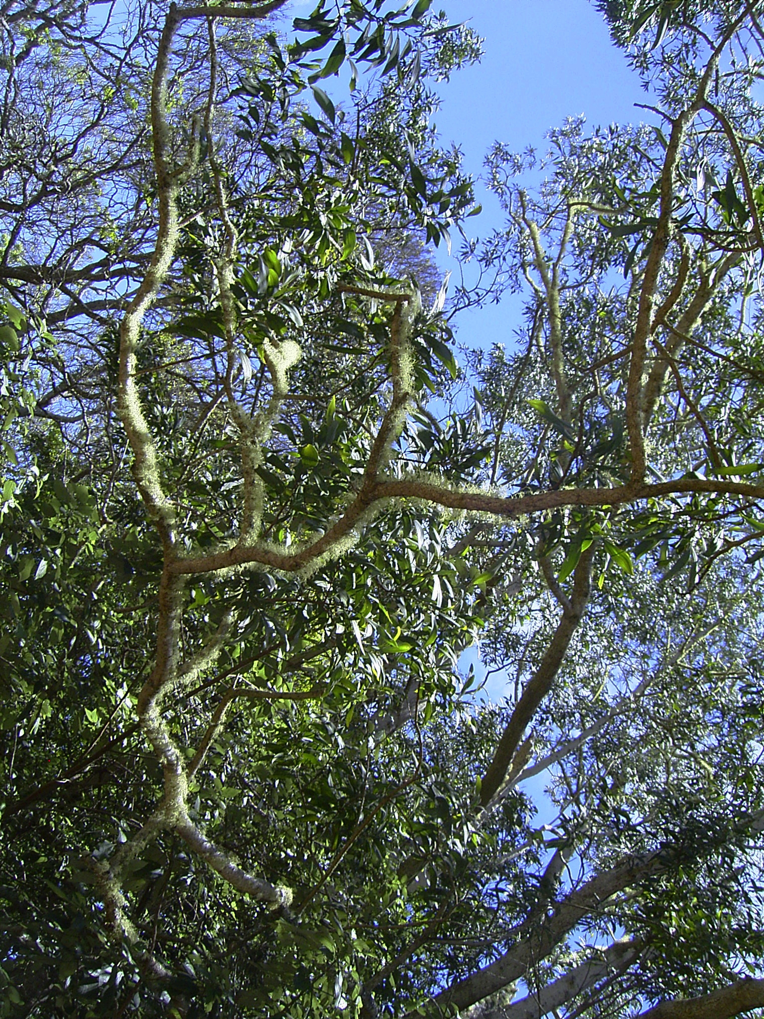fileacacia koa a dominant canopy tree in hawaii 8380358492 - Open Canopy 2015