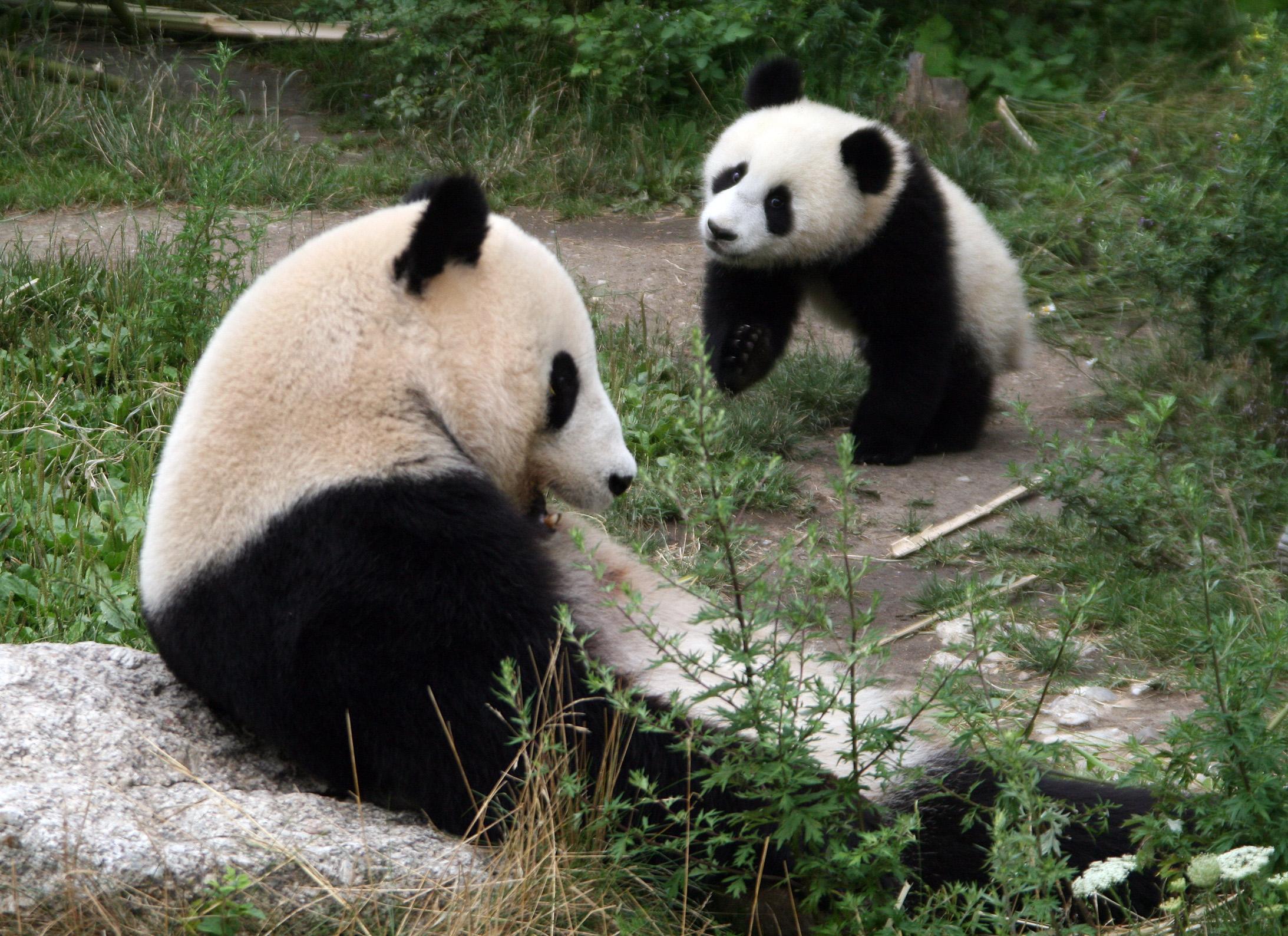Gro�er Panda (Mutter und 10 Monate alter Nachwuchs), Fotograf: Manfred Werner