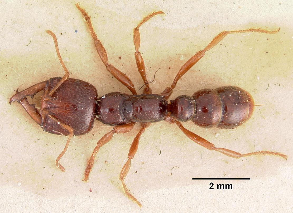australis Archives - Ants Online