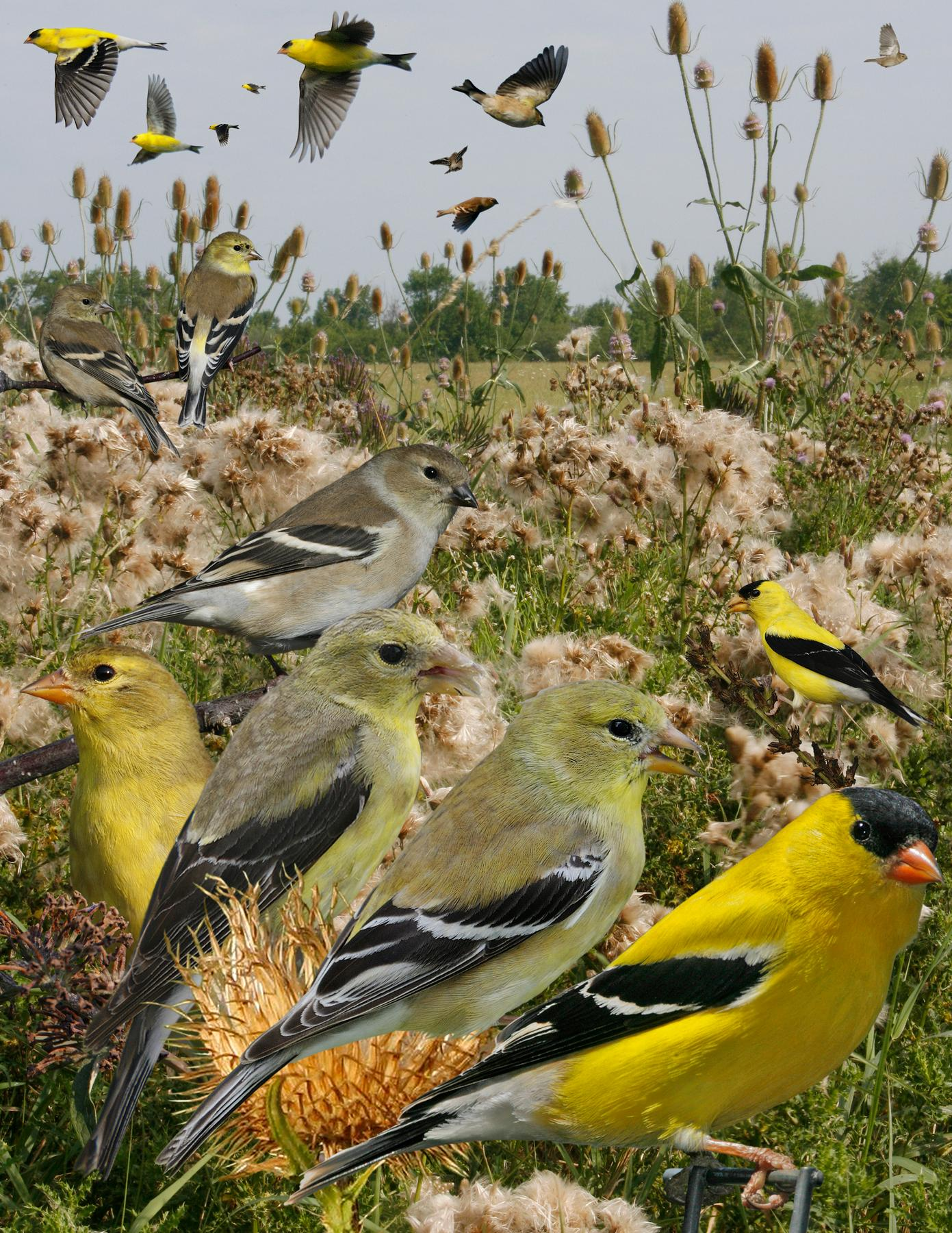 File:American Goldfinch from The Crossley ID Guide Eastern ...