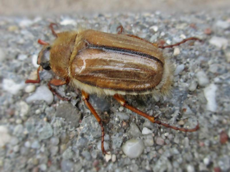 Amphimallon solstitiale (Summer Chafer), Nijmegen, the Netherlands - 2