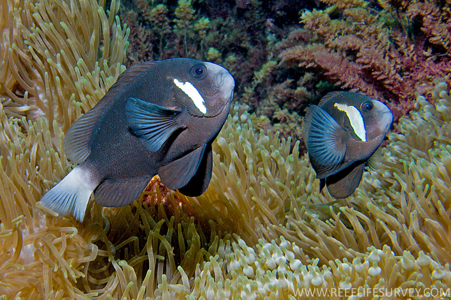 Saving Nemo: How Climate Change Threatens Anemonefish And ... |Mccullochi Clownfish