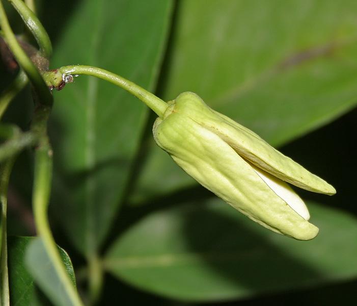 File:Annona squamosa (Custurd Apple) flower in Hyderabad ...