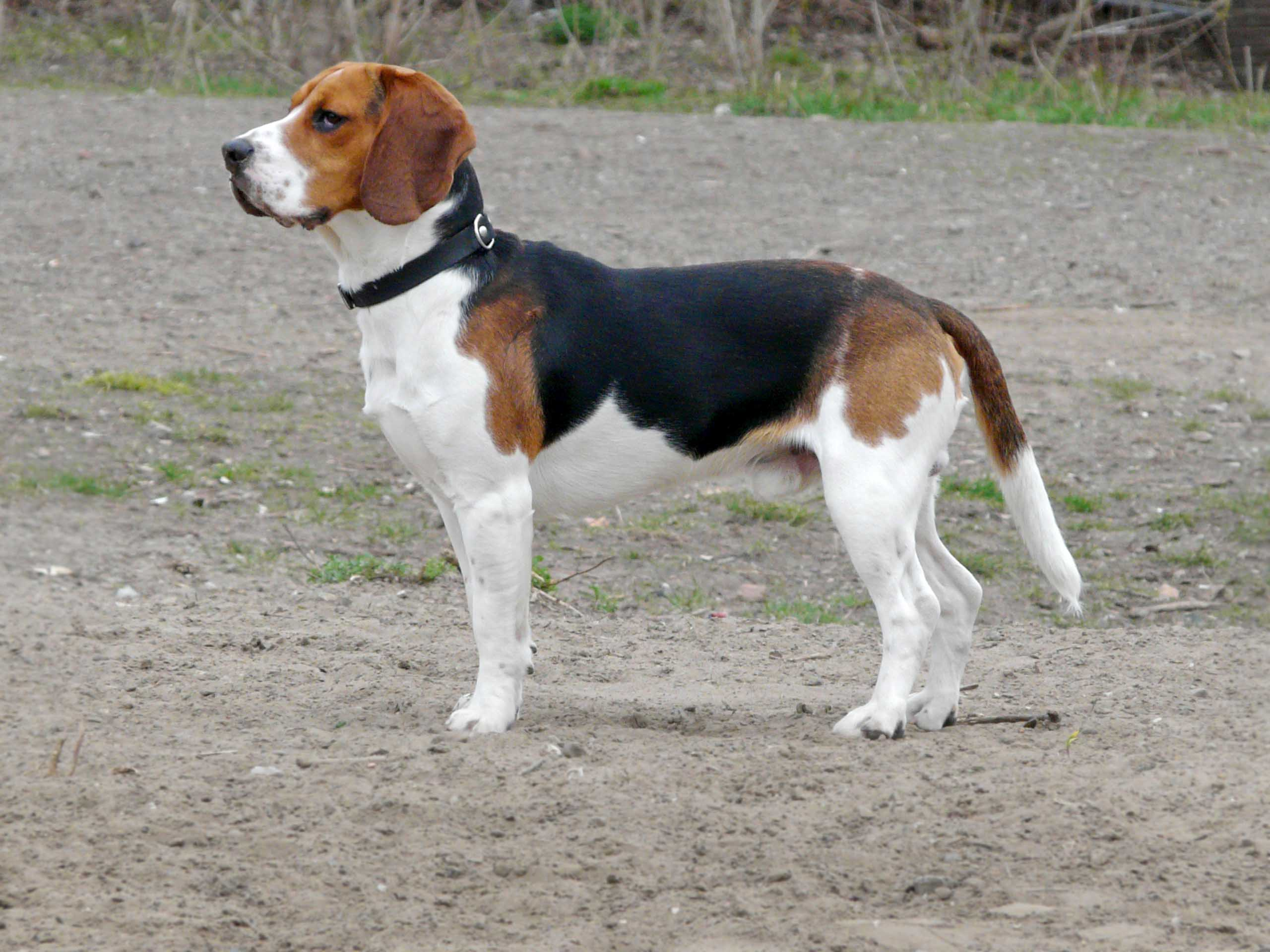 Description Beagle 1.jpg