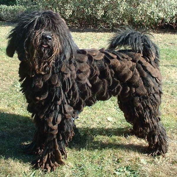 There are scores of dog breeds - from hairless to long-haired