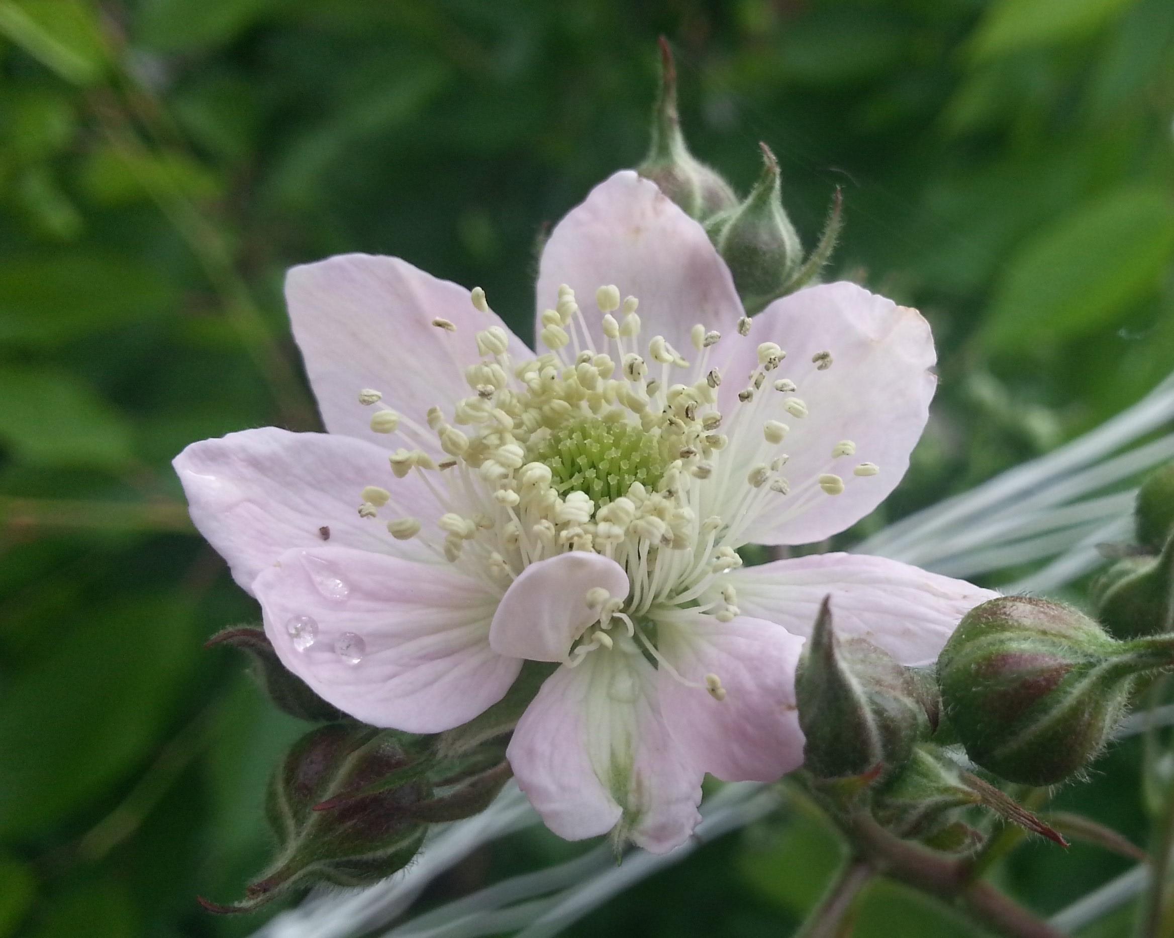 ropliquidaindroponblackberrypalepinkflower