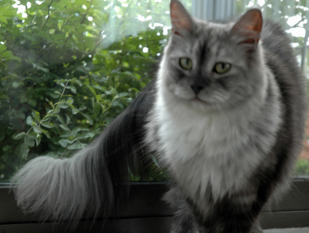 Bluesmoke Maine Coon Female cat