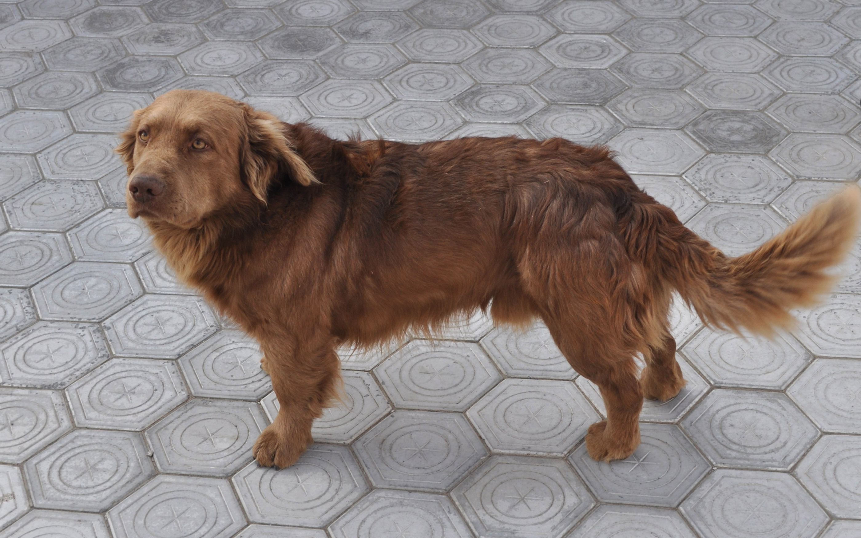 Description Brown Dog.jpg