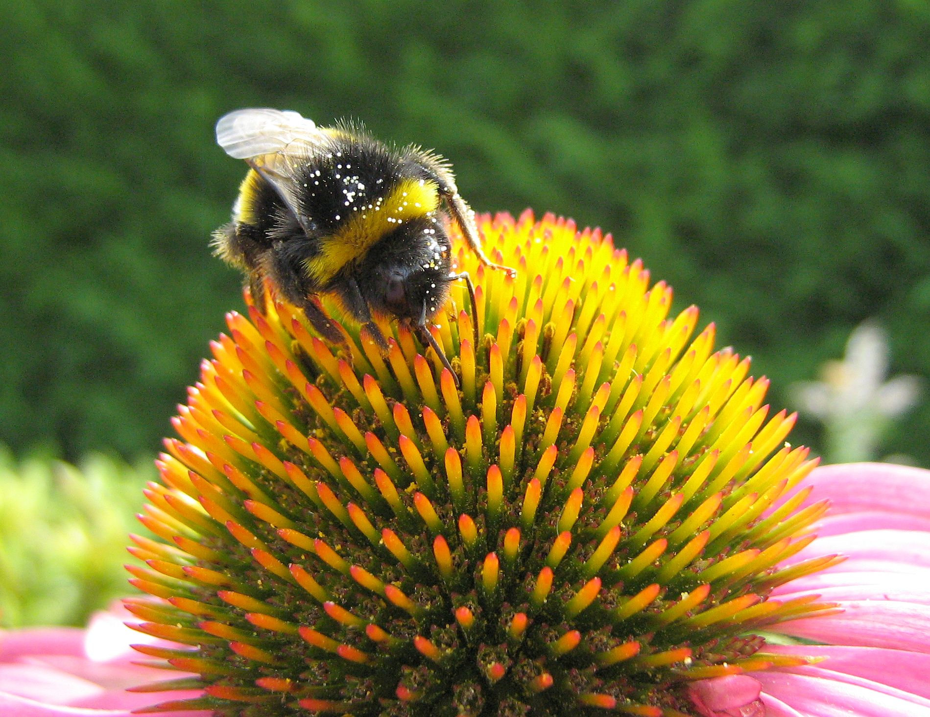 file bumblebee echinacea wikimedia commons. Black Bedroom Furniture Sets. Home Design Ideas
