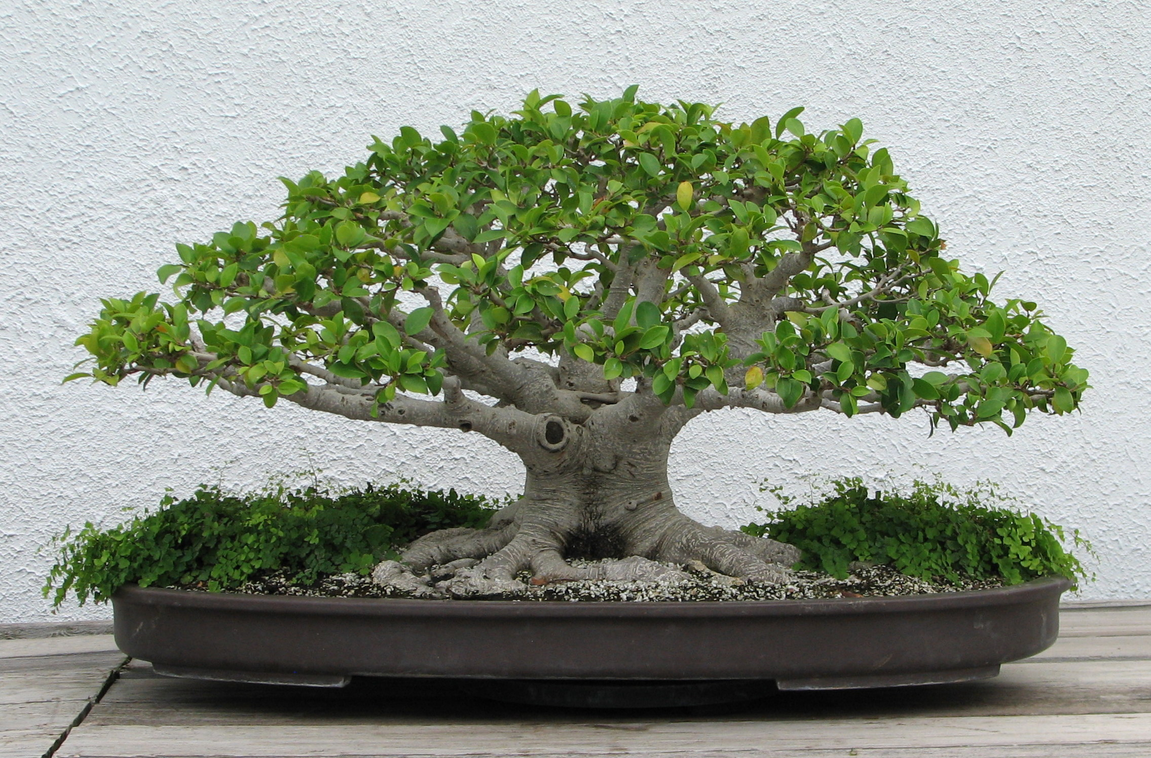 National bonsai foundation wikiwand - Ficus microcarpa cuidados ...