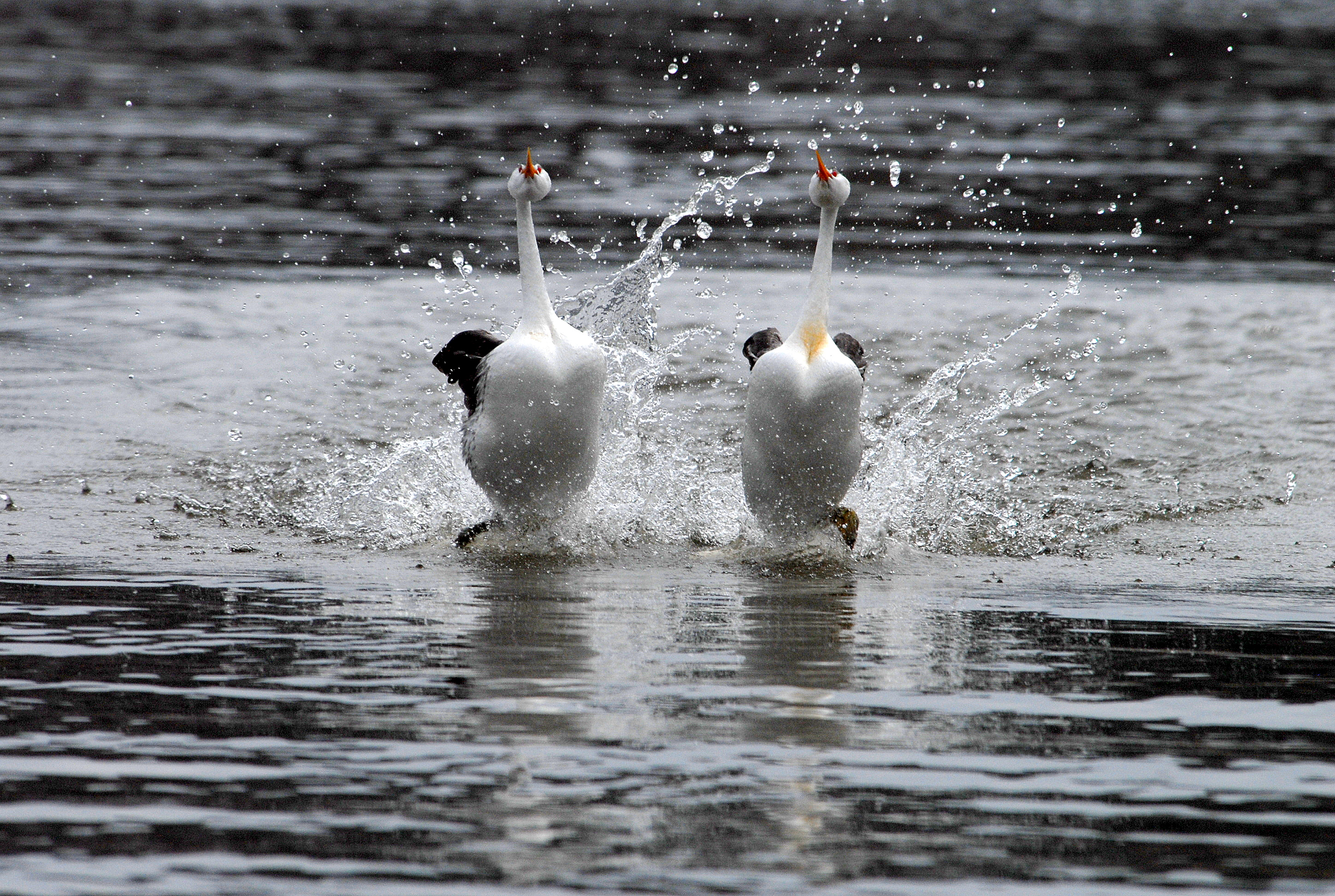 http://upload.wikimedia.org/wikipedia/commons/8/80/Clarks_grebes_rushing_%286862203949%29.jpg