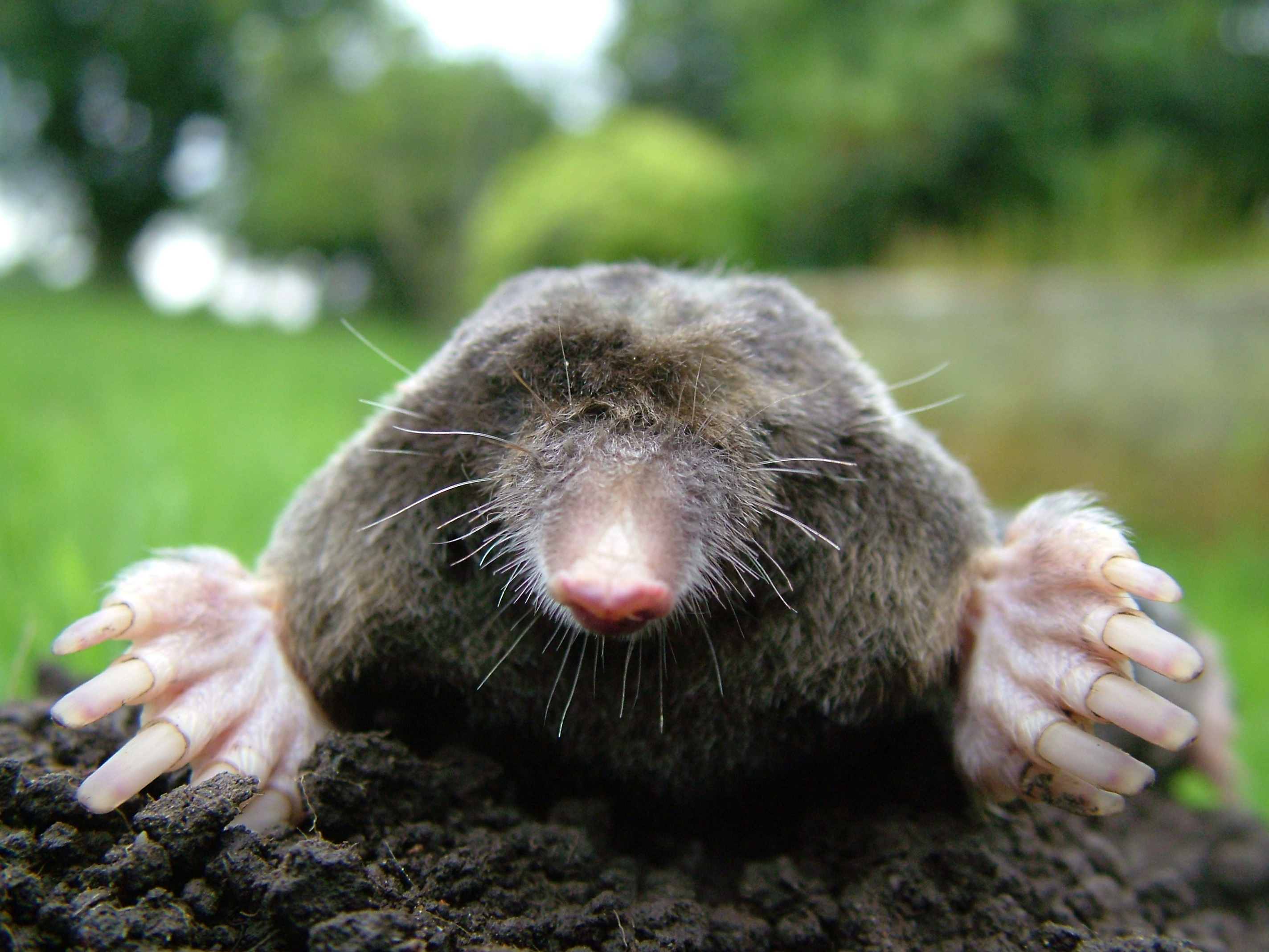 Is this what a mole looks like? [Image from Wikipedia]