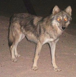 Image of wolf in desert at night with glowing eyes