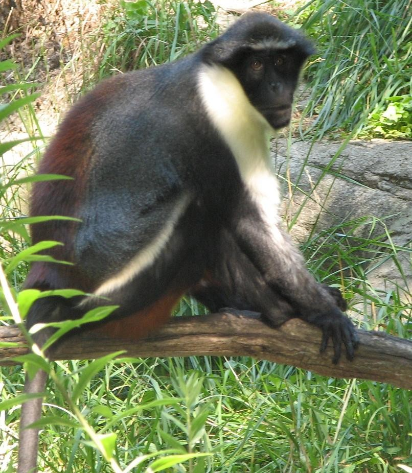 https://upload.wikimedia.org/wikipedia/commons/8/80/Diana_Monkey2.jpg