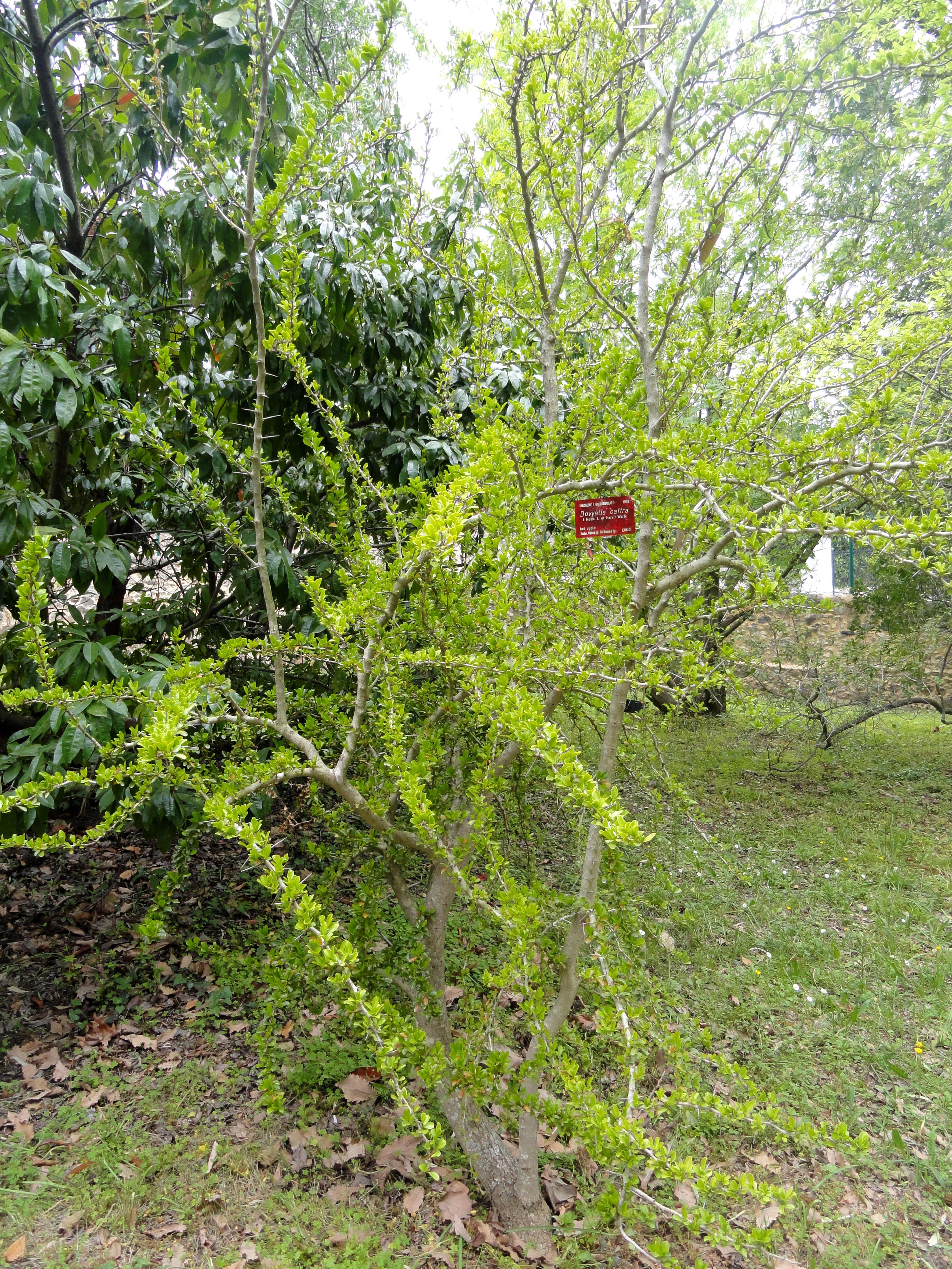 File dovyalis caffra villa thuret dsc04786 jpg for Jardin villa thuret