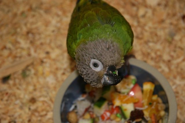 The Dusky-headed Conure is one of the quiter types of conures