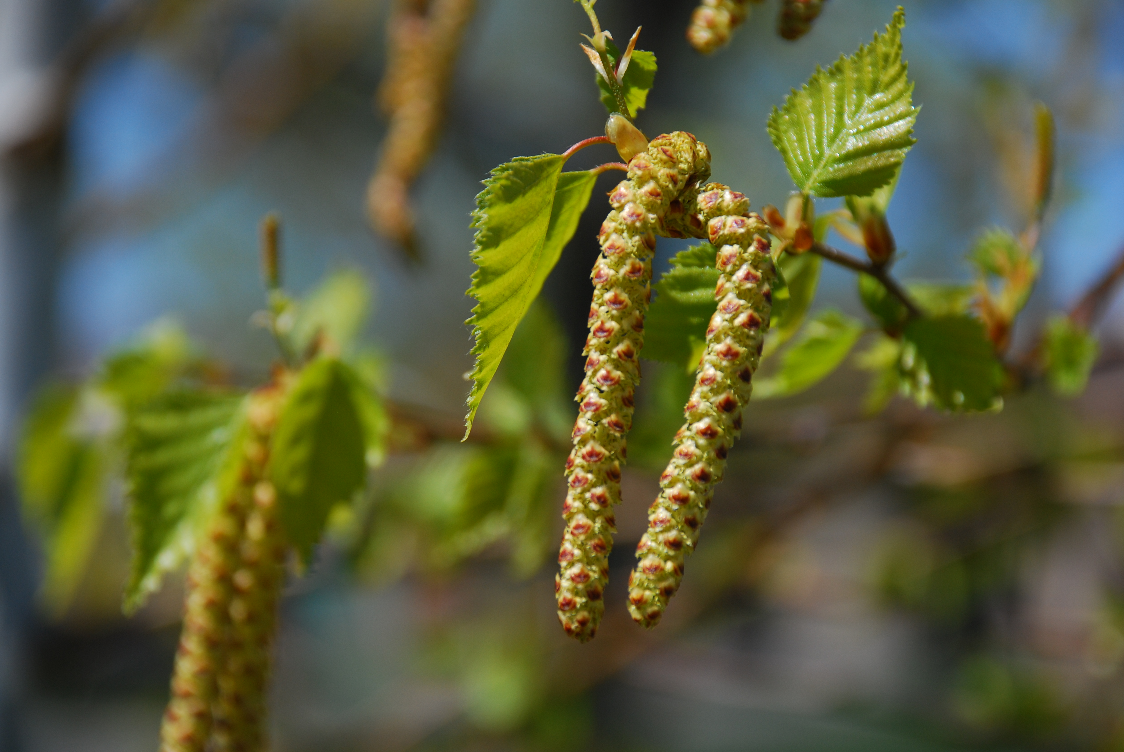 how to grow a birch tree from seed