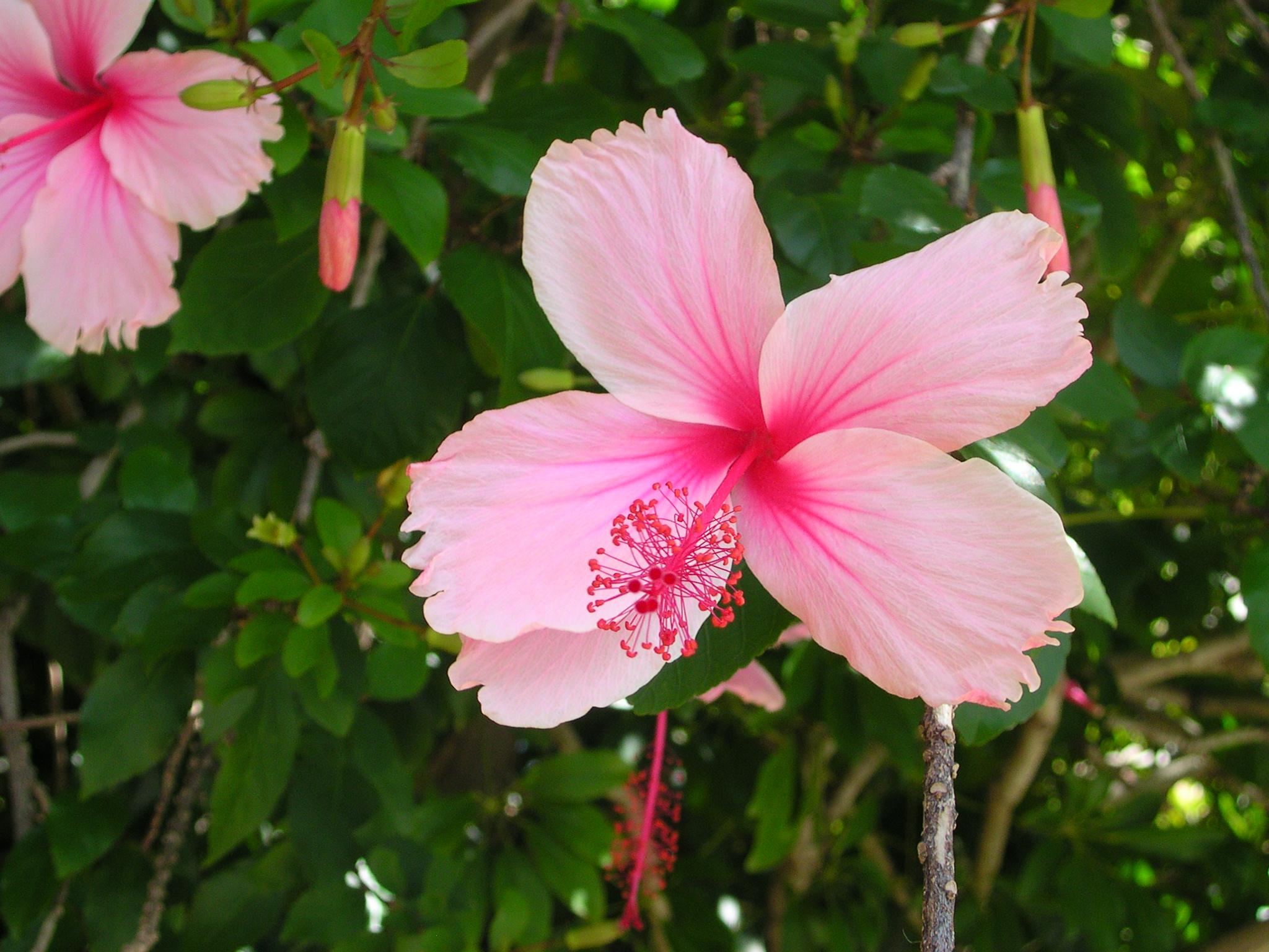Fileflickr Brewbooks Pink Hibiscus Brisbane 1g