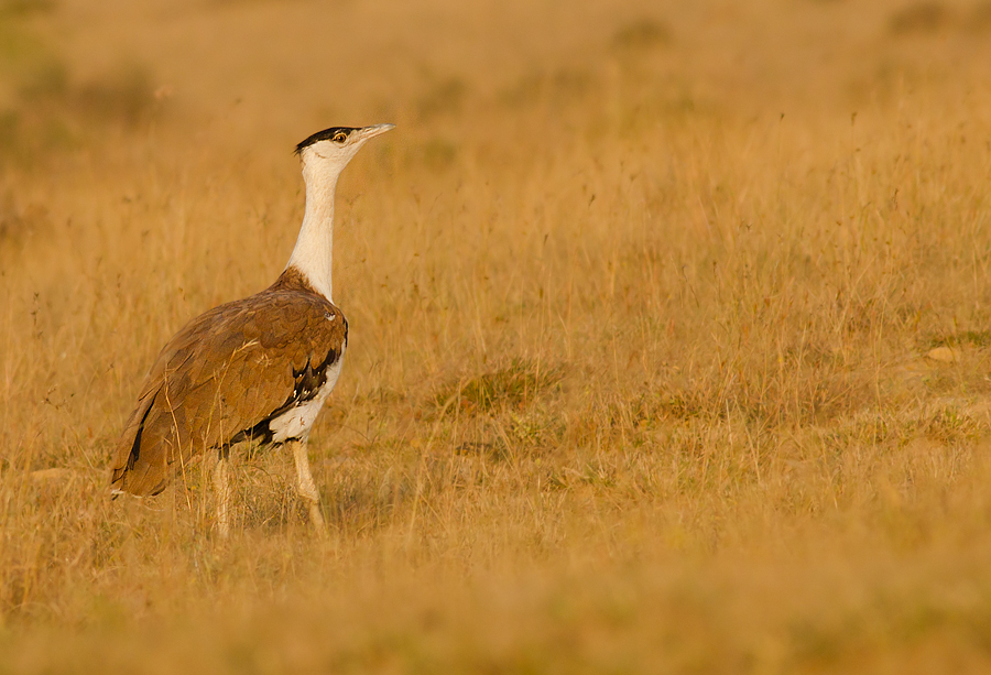 Video: Power lines killing the last remaining Great Indian Bustards in India
