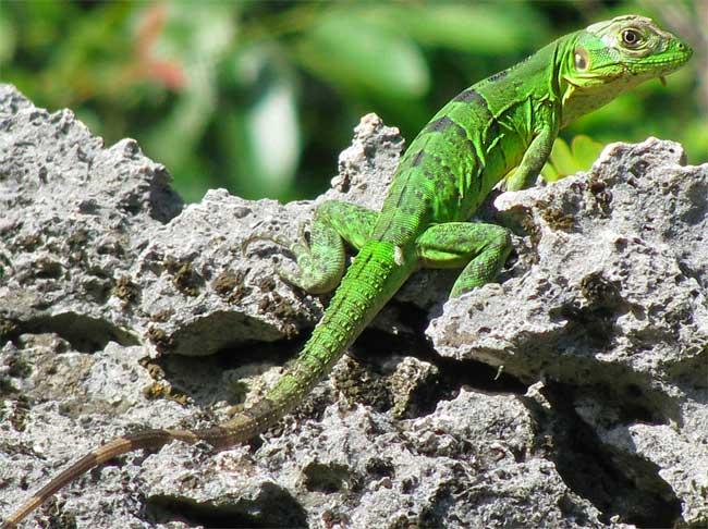 Green_iguana.jpg