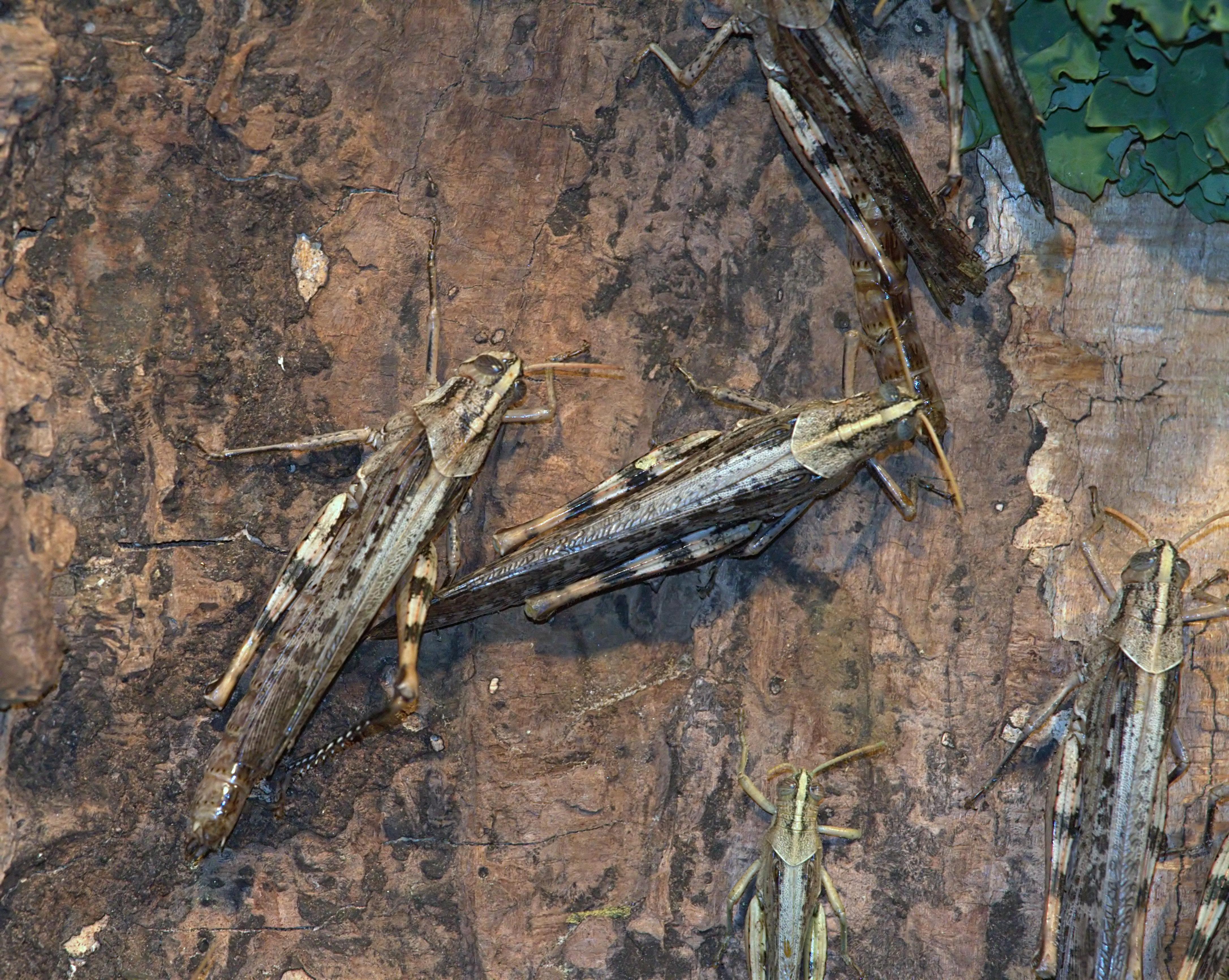 Acrididae image