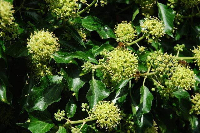 File:Gwenyn ar Flodau Eiddew - Bees on Ivy Flowers - geograph.org.uk - 547757.jpg