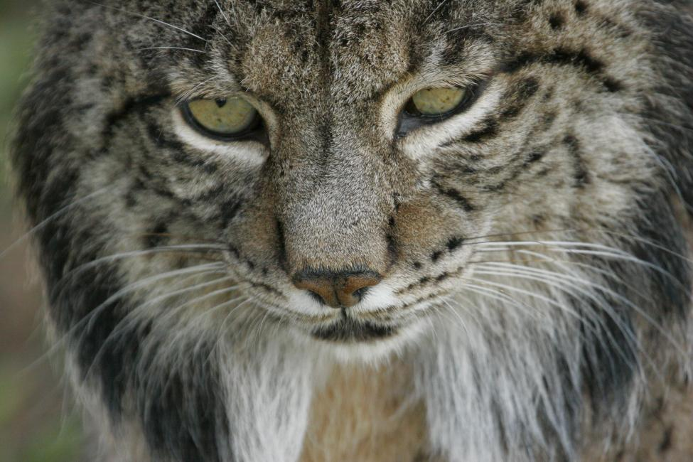 By http://www.lynxexsitu.es - http://www.lynxexsitu.es/index.php?accion=fotos&id=16#lince, CC BY-SA 3.0, https://commons.wikimedia.org/w/index.php?curid=27381735