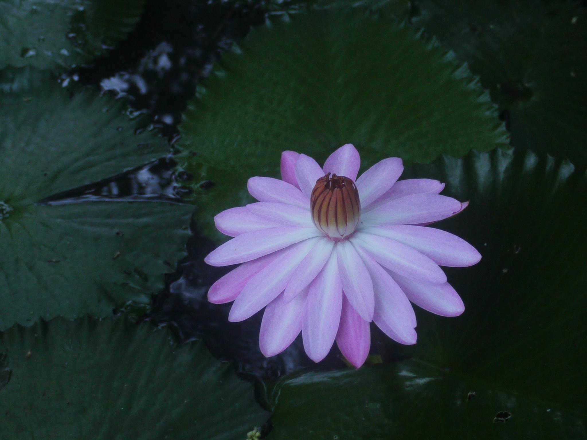 Filekalhara Sanskrit 4745332351g Wikimedia