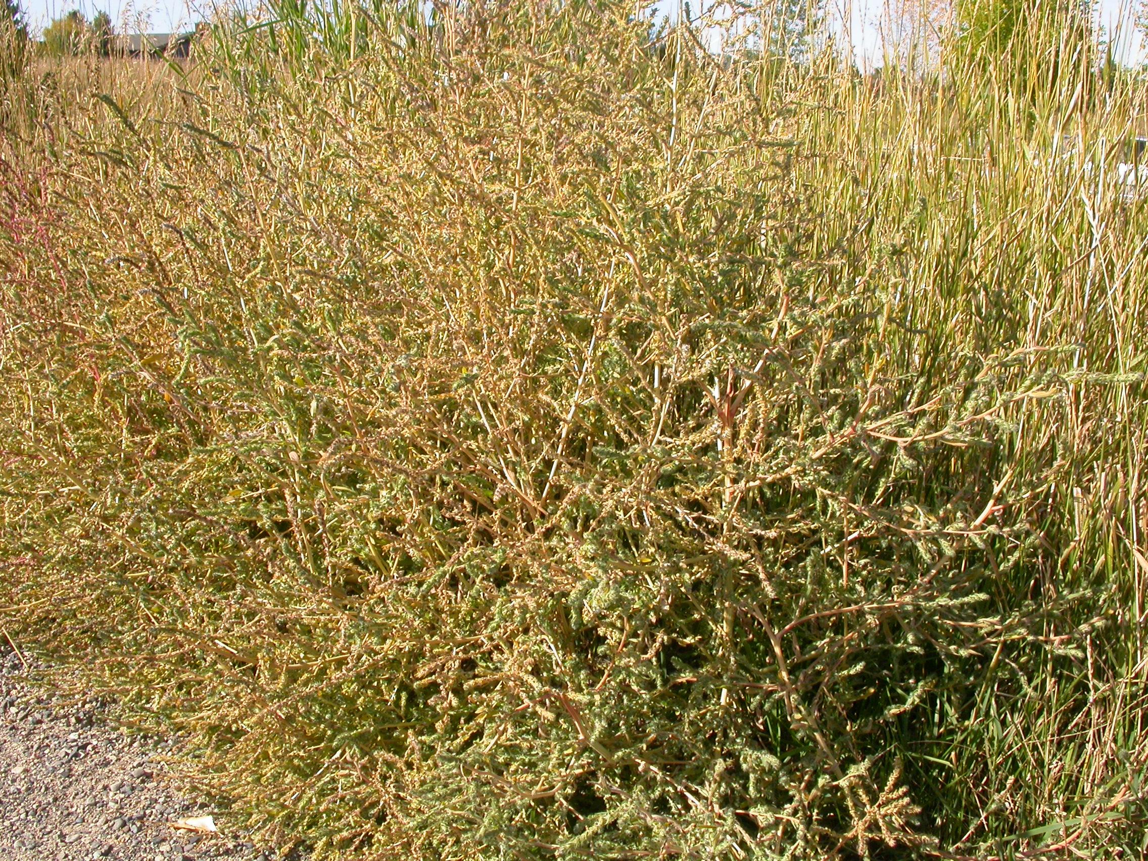 kochia weed
